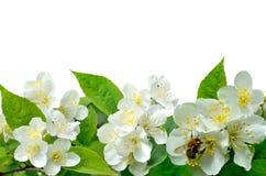 Flores del jazmín con la abeja aislada en blanco Imagen de archivo
