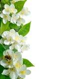 Flores del jazmín con la abeja aislada en blanco Imagen de archivo libre de regalías