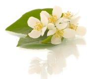 Flores del jazmín. DOF bajo fotos de archivo libres de regalías