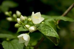 Flores del jazmín en Bush verde Fotos de archivo