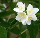 Flores del jazmín en la floración Imágenes de archivo libres de regalías
