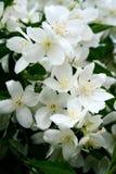Flores del jazmín en la floración Foto de archivo libre de regalías