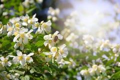 Flores del jazmín en la floración Foto de archivo