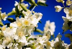 Flores del jazm?n imagen de archivo libre de regalías