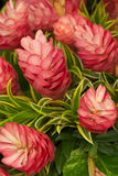 Flores del jengibre Imagenes de archivo