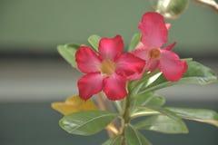 Flores del jepang del kamboja del obesum del Adenium de la floración imagen de archivo libre de regalías