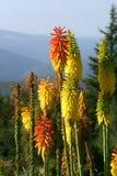Flores del Kniphofia en la floración fotos de archivo