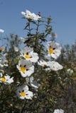 Flores del ladanifer del Cistus Imagen de archivo
