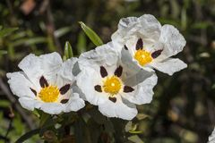 Flores del ladanifer del Cistus Fotos de archivo