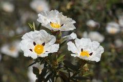 Flores del ladanifer del Cistus Imagenes de archivo