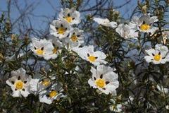 Flores del ladanifer del Cistus Fotografía de archivo libre de regalías