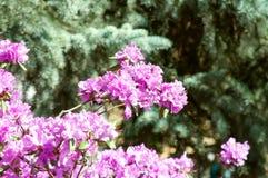 Flores del Lagerstroemia de la lila Imágenes de archivo libres de regalías