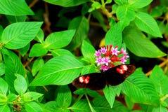 Flores del lanceolata de la mariposa y de los pentas Fotos de archivo libres de regalías