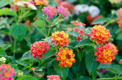 Flores del Lantana Fotos de archivo