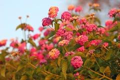 Flores del Lantana Imagen de archivo libre de regalías