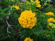 Flores del Lantana - amarillo Fotografía de archivo