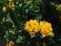 Flores del lantana de Kamara - amarillo Fotos de archivo libres de regalías