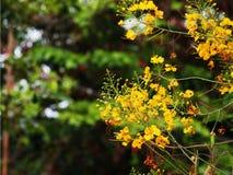 Flores del Lao del khou de Dok fotografía de archivo libre de regalías