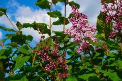 Flores del latín SyrÃnga de la lila contra un fondo de las nubes blancas Imagen de archivo