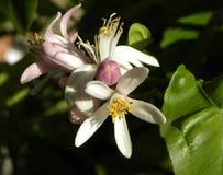 Flores del limón Fotos de archivo libres de regalías