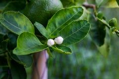 Flores del limón en árbol imagenes de archivo