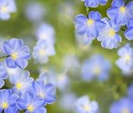 Flores del lino Fotos de archivo libres de regalías