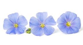 Flores del lino aisladas Imágenes de archivo libres de regalías
