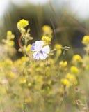 Flores del lino contra la perspectiva de las flores amarillas Imagen de archivo libre de regalías