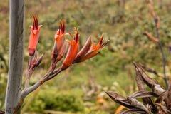 Flores del lino de Nueva Zelanda Imagenes de archivo