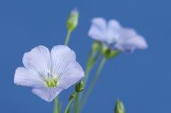 Flores del lino (usitatissimum de Linum) fotos de archivo libres de regalías