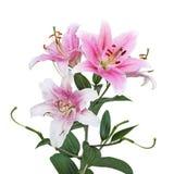 Flores del lirio Imagenes de archivo