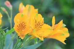 Flores del lirio Foto de archivo libre de regalías