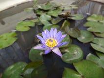 Flores del lirio Foto de archivo