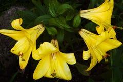 Flores del lirio amarillo Fotografía de archivo libre de regalías