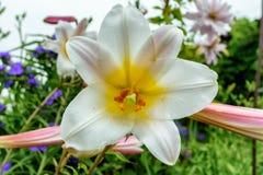 Flores del lirio blanco en el país Fotografía de archivo