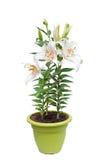 Flores del lirio blanco en el pote Fotografía de archivo