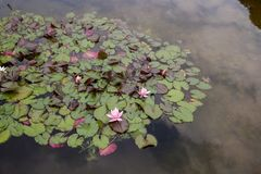 Flores del lirio de agua imagenes de archivo
