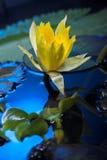 Flores del lirio de agua Fotografía de archivo