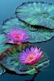 Flores del lirio de agua imágenes de archivo libres de regalías