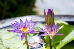 Flores del lirio de agua en pote de arcilla Imagen de archivo