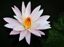 Flores del lirio de agua en una superficie de la charca Fotografía de archivo