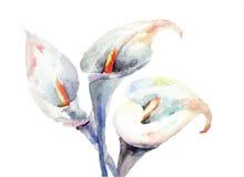 Flores del lirio de cala Imagen de archivo