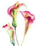 Flores del lirio de cala Foto de archivo libre de regalías