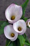 Flores del lirio de cala Imagen de archivo libre de regalías
