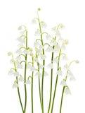 Flores del lirio de los valles en blanco Fotografía de archivo libre de regalías