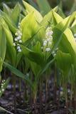 Flores del lirio de los valles, majalis del Convallaria Imagen de archivo libre de regalías
