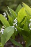 Flores del lirio de los valles, majalis del Convallaria Fotos de archivo libres de regalías