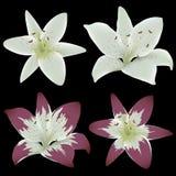 Flores del lirio del vector Imagenes de archivo