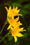 Flores del lirio en un fondo verde borroso Fotos de archivo