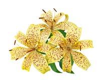 Flores del lirio tigrado en un blanco Foto de archivo